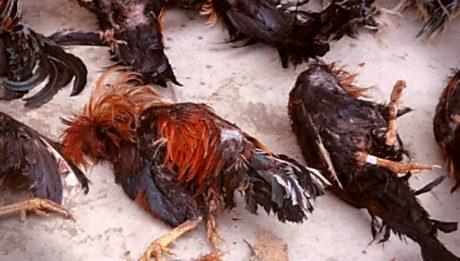 gallos muertos