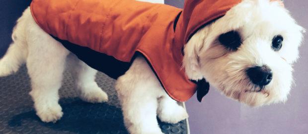 Perrito vestido