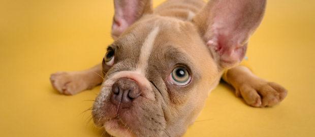 perro mirando hacia arriba - dog guru podcast