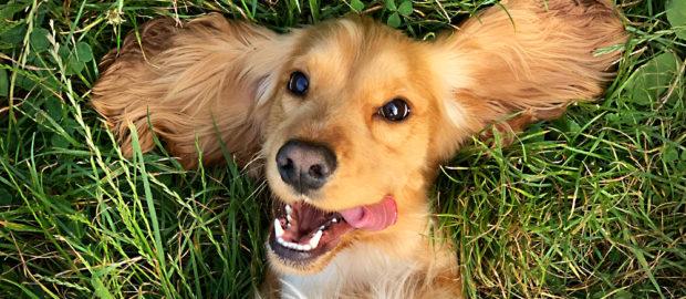 perro jugando en la grama